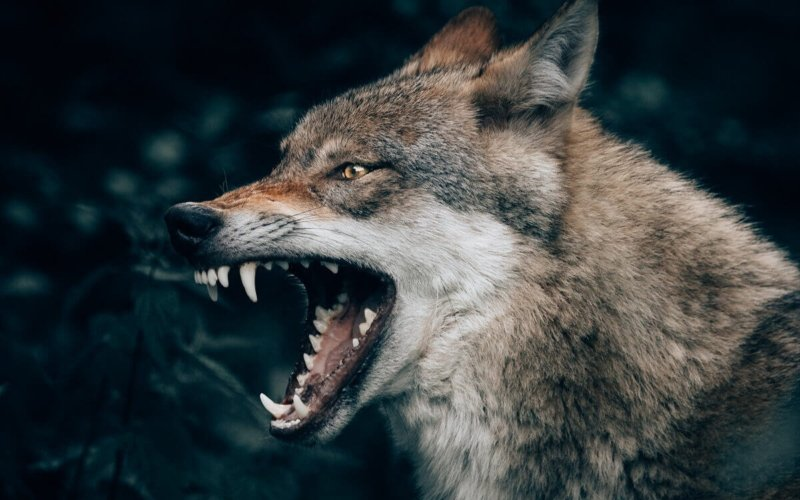 Do-wolves-naturally-attack-humans