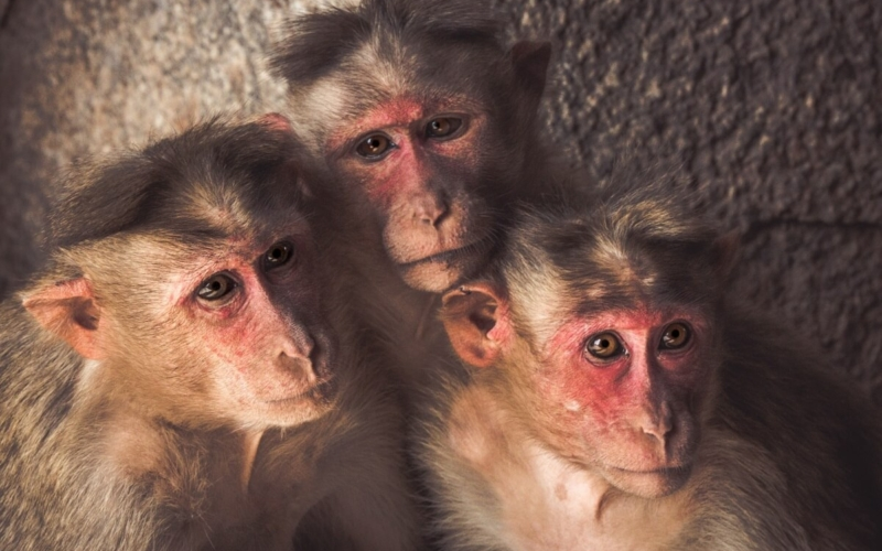 Monkeys-have-entered-the-Stone-Age-Facts