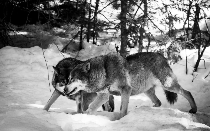 What-should-you-do-if-you-are-attacked-by-a-pack-of-wolves