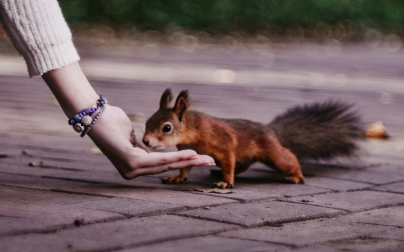 Do Squirrels Make Good Pets? Can they be domesticated?