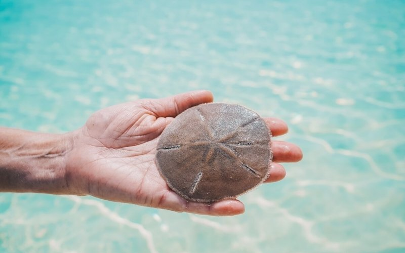 How Much Is a Sand Dollar Worth?