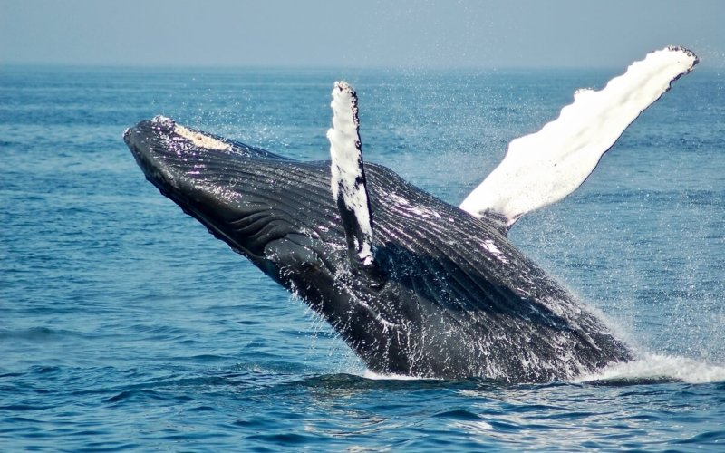 How Big Is the Biggest Whale