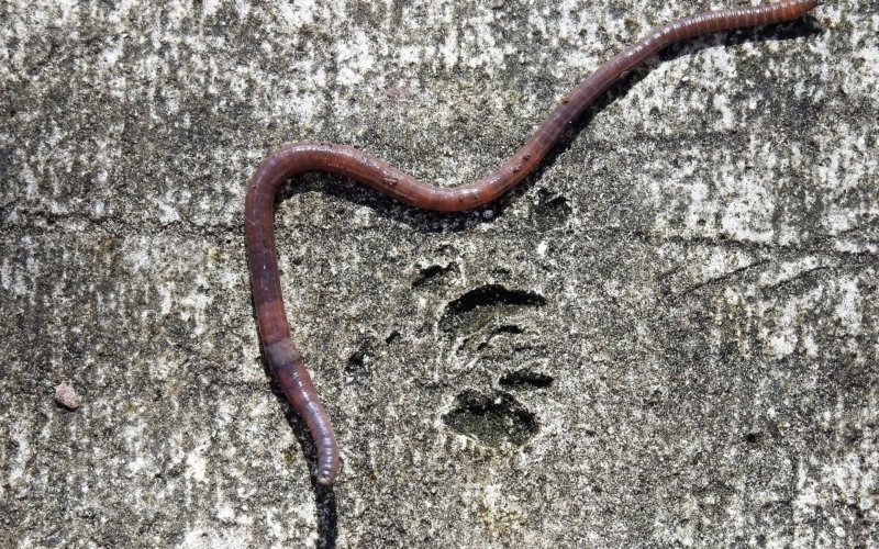 Why Do Earthworms Come Out in the Rain?