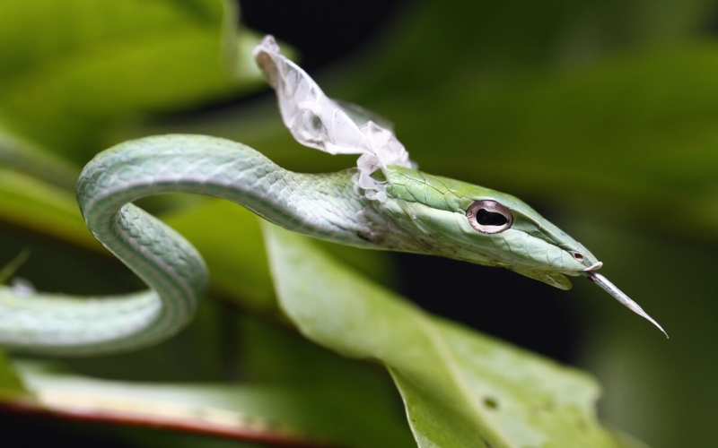 Why Do Snakes Shed Their Skin?