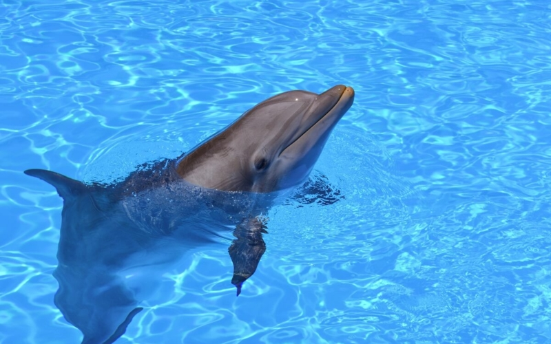 Why are the Bottlenose Dolphins becoming endangered?