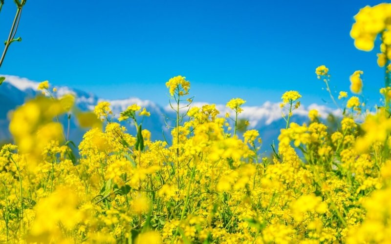 What Is Mustard Made Of?