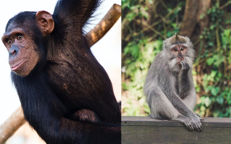 What is the Difference between Apes and Monkeys?