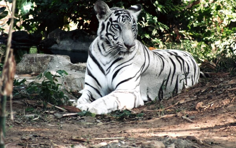 Why are some Tigers White