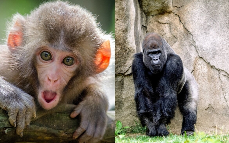 Difference between Apes and Monkeys