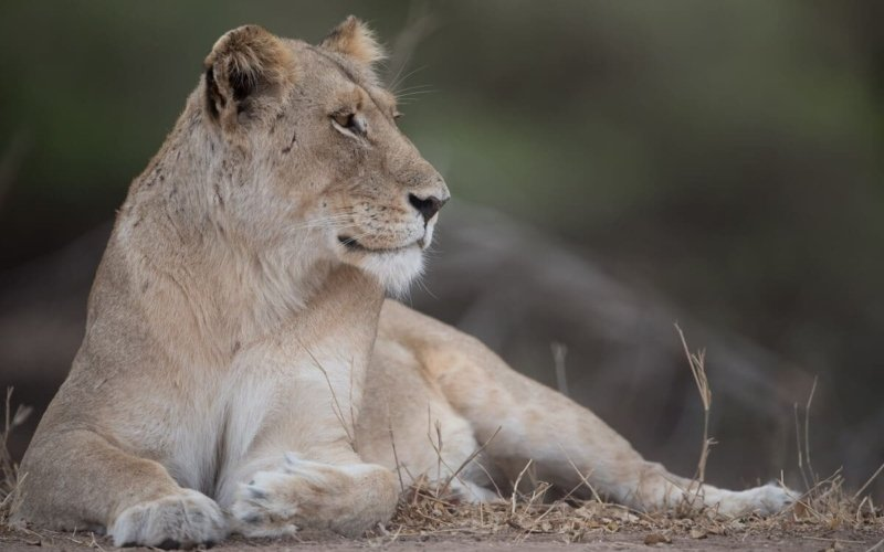 What is a Female Lion Called?