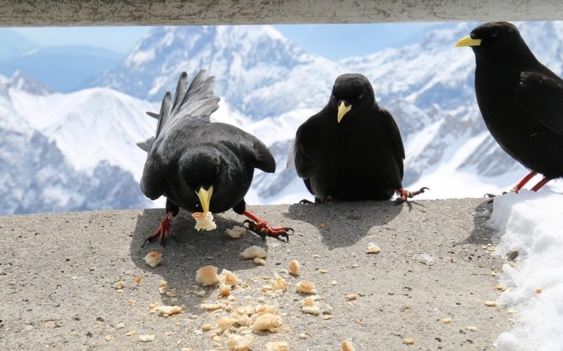 What is a group of Ravens called?