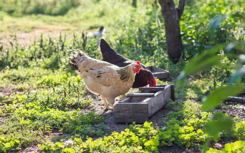 What Name Is Given To A Group Of Chickens?