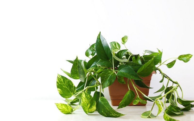 Types of Ivy Plants and Facts